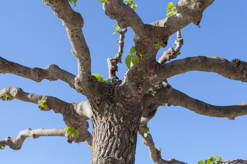 Dakbomen snoeien
