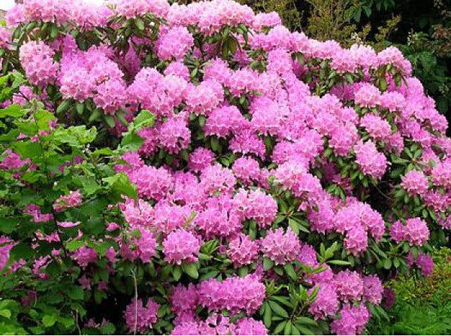 Japanse azalea – Rhododendron 'Mollis'
