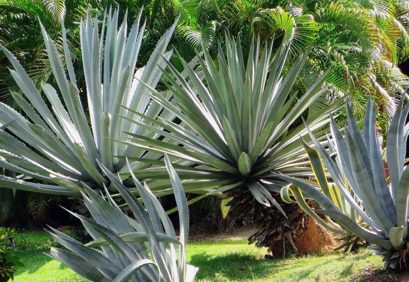 Grote Potplanten Voor Buiten.Exotische Planten Directplant