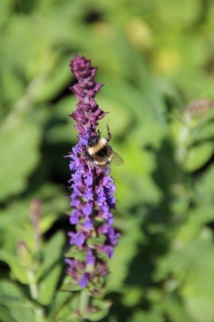 Bijzondere salie (Salvia) - planten, verzorgen en snoeien