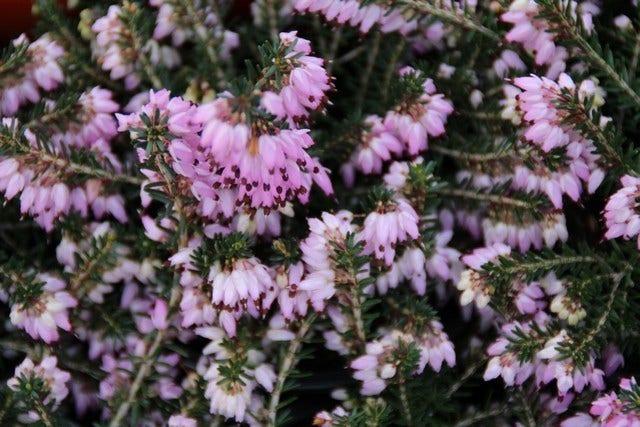 Heide planten en snoeien