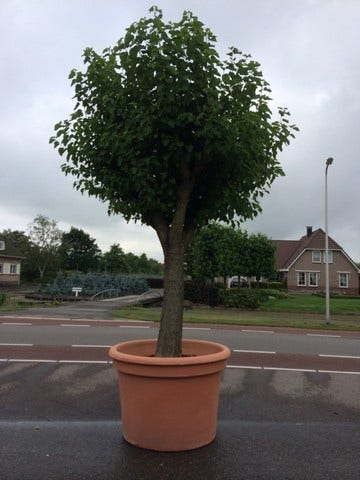 Goede bomen | Directplant RI-37