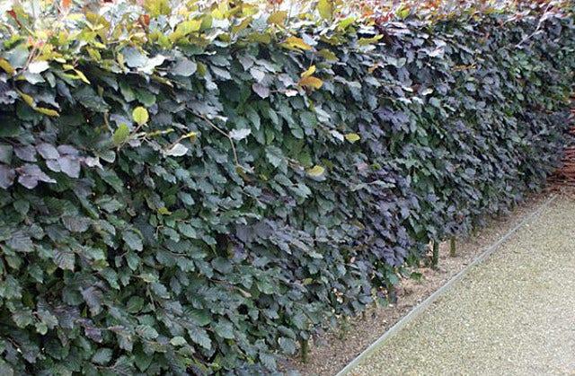 Beukenhaag (Fagus sylvatica) planten en verzorgen