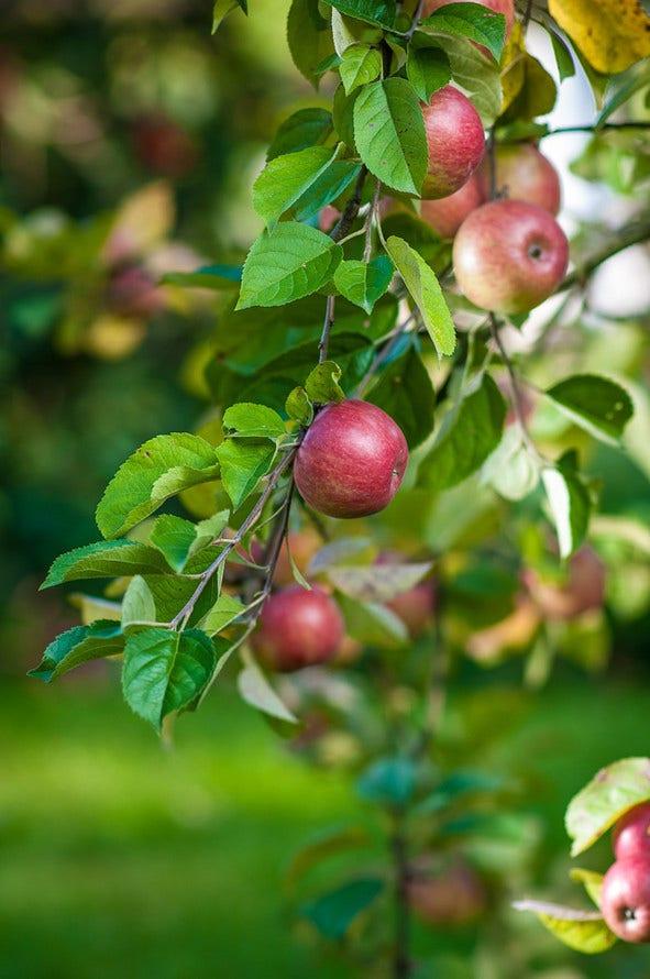 Eigen boomgaard met 9 fruitbomen