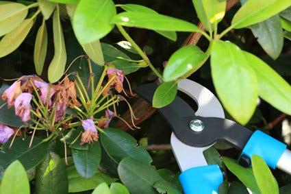 Rhododendron snoeien - hoe en wanneer