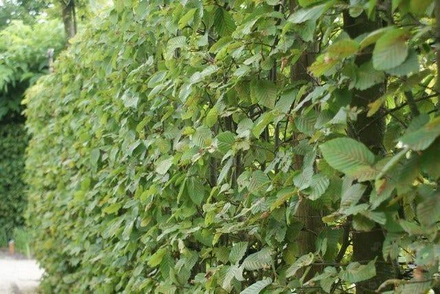 Haagplanten in het tuinontwerp