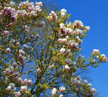 Magnolia snoeien - hoe en wanneer