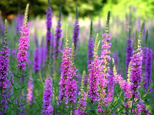 Oeverplanten voor een kleurrijke waterkant