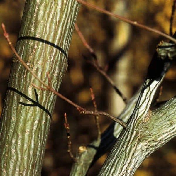 Siertakken - stammen en basten in de winter