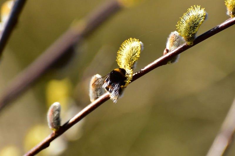 Wilgenkatjes (Salix)