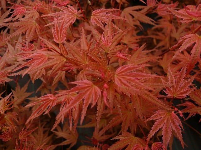 Esdoorn (Acer) planten en snoeien
