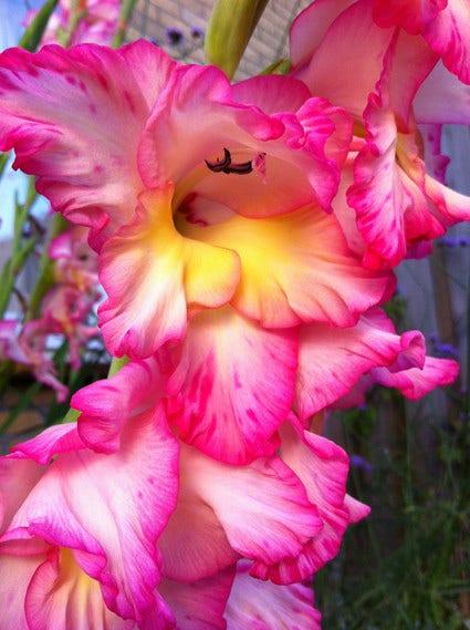Gladiolen planten