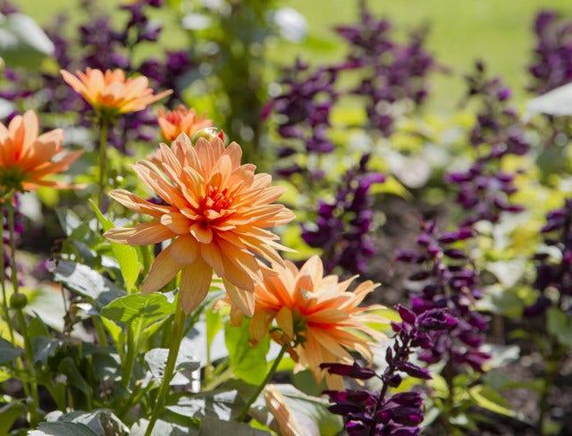 Dahlia planten - hoe en wanneer poten