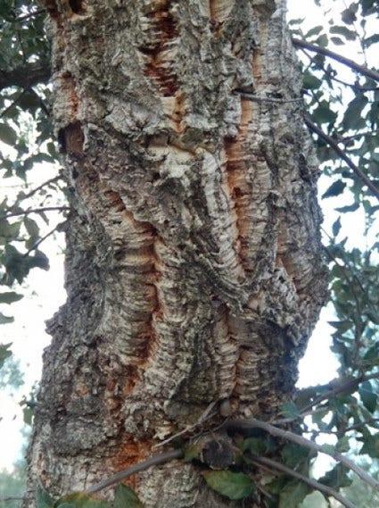 Kurkeik (Quercus suber) - planten en verzorgen