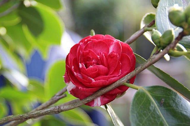Camelia (Camellia) - Japanse roos