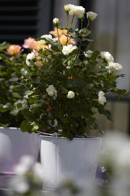 Potroos - planten en verzorgen