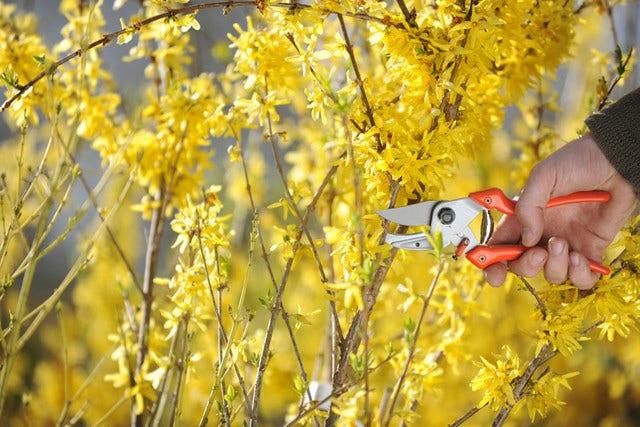 Struiken snoeien in het voorjaar
