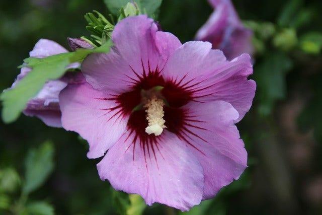 Hibiscus verzorgen en snoeien