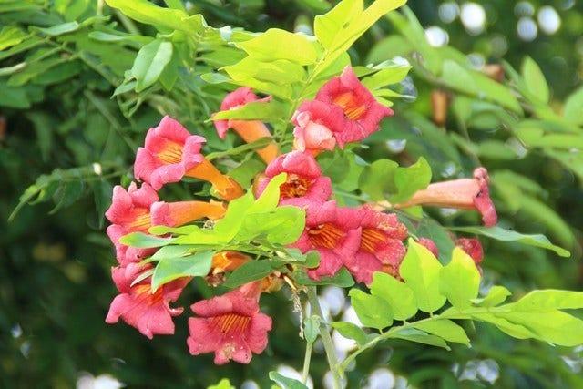Trompetbloem (Campsis radicans) - soorten en verzorging