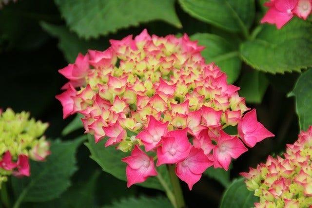 Hortensia planten en verzorgen