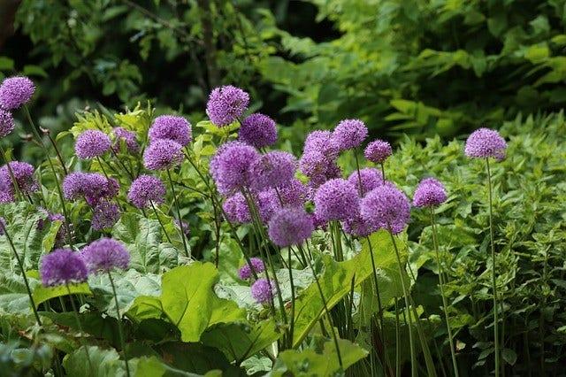 Sierui (Allium)