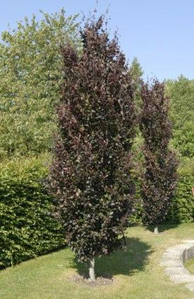 Zuilbomen - planten en snoeien