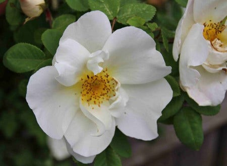 Wilde roos - soorten, planten en snoeien