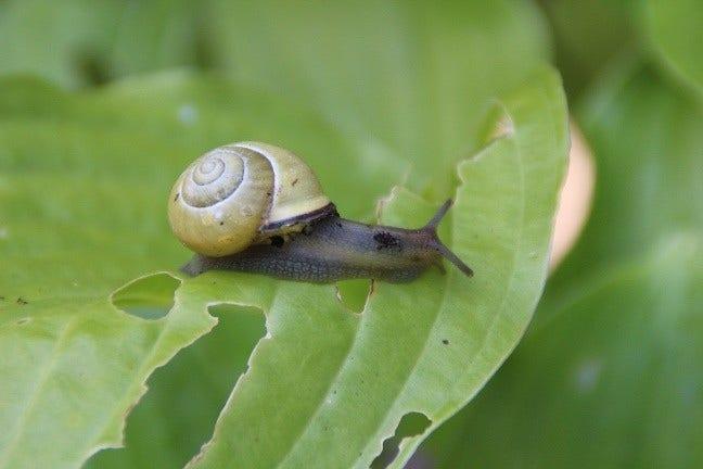 Hosta beschermen tegen slakken