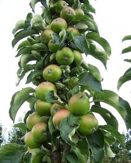 Zuilfruit - kolomfruit voor kleine tuinen of een haag