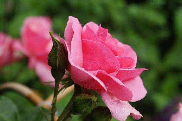 Wilde scheuten bij rozen