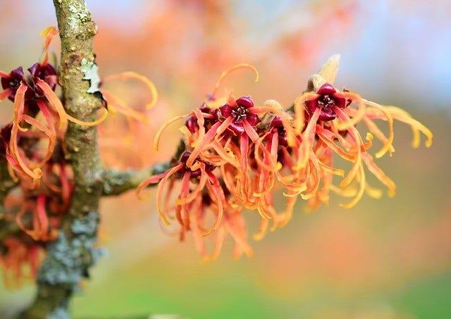 Toverhazelaar (Hamamelis): winterbloeier met geur