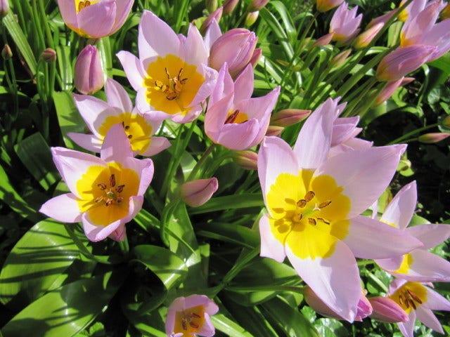 Botanische tulpen - verwilderingsbollen
