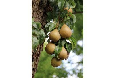 Fruit verzorging en snoeien