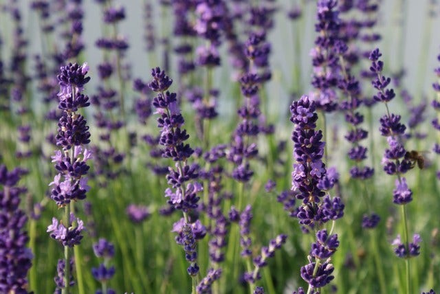 lavendel planten en snoeien directplant