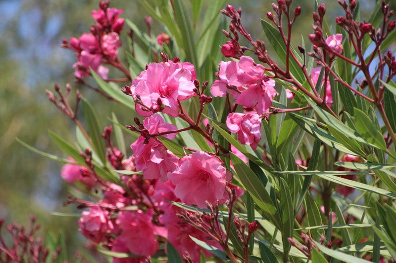 Oleander directplant for Talea oleandro