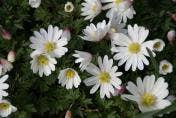 Anemoon bloembollen