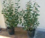 Haagplanten, bladhoudend