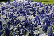 Gemengde bloembollen