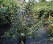 Haagplanten, bladverliezend