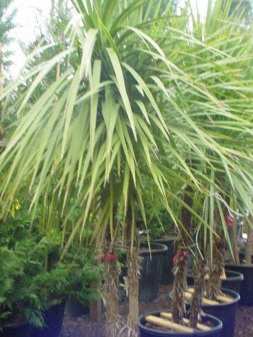 Cordyline (Cordyline australis) - 300/350 cm