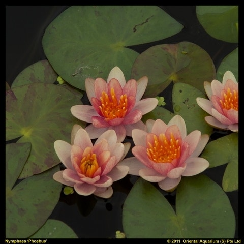 Waterlelie (Nymphaea phoebus)-Plant in pot-Pot met draagbeugel