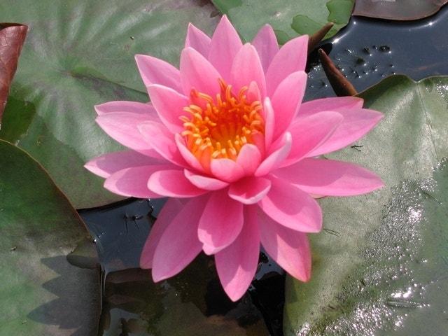 Waterlelie (Nymphaea 'Perry's Magnificent')-Plant in pot-Pot met draagbeugel. Kleur: roze