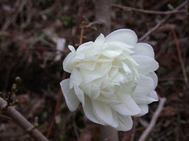 Beverboom (Magnolia loebneri 'Wildcat')-40/60 cm-Plant uit volle grond