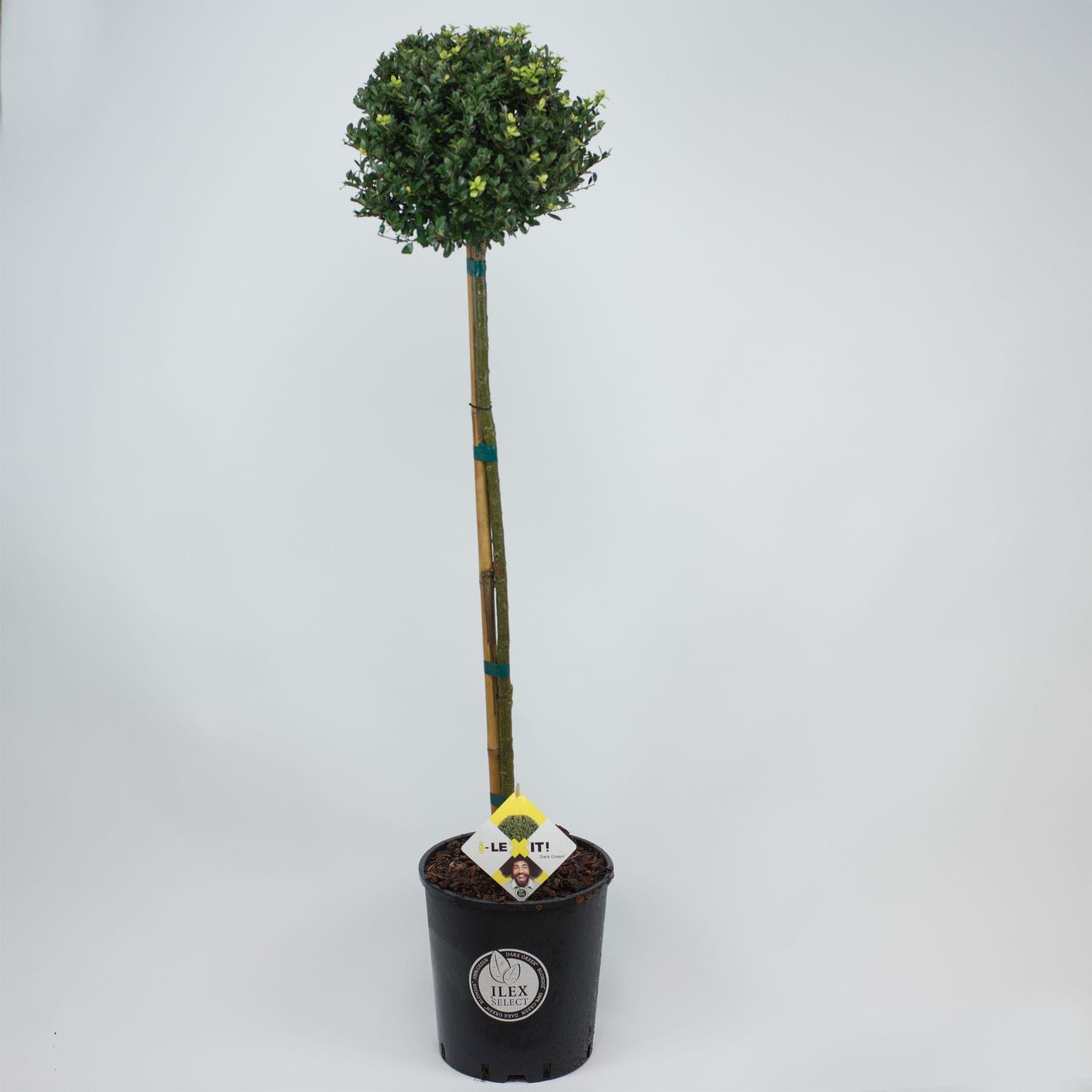 Japanse Hulst als Bol op Stam (Ilex crenata 'Dark Green')-80 cm stam