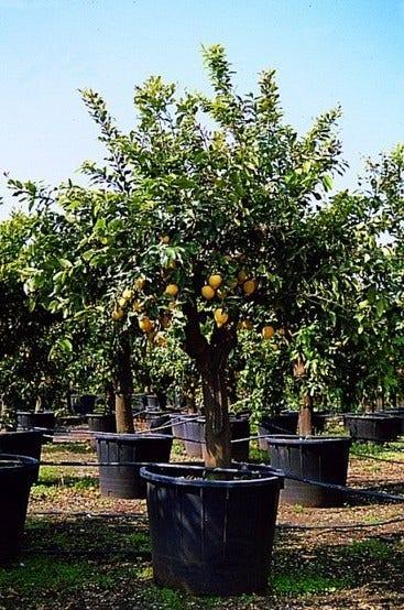 Citroenboom (Citrus limonum) - 40 cm op stam. Kleur: wit