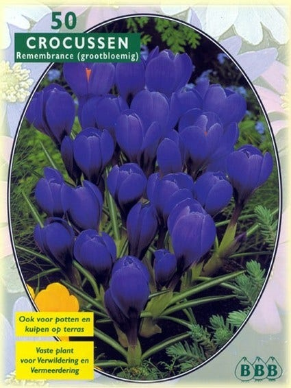 Krokus (Crocus 'Grootbloemig, Blauw') - per 50. Kleur: blauw