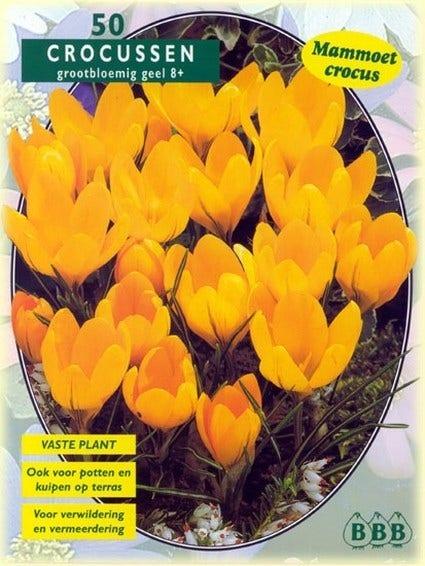 Krokus (Crocus 'Grootbloemig, Geel') - per 50. Kleur: geel
