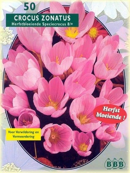 Herfstbloeiende Krokus (Crocus Zonatus) - per 30. Kleur: roze