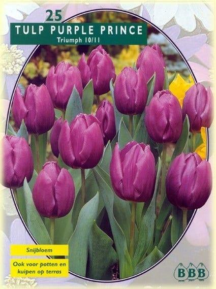 Tulp (Tulp 'Purple Prince, Triumph') - per 25. Kleur: paars