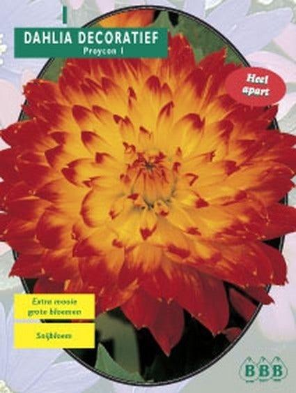 Dahlia (Dahlia decoratief Proycon) - per 1